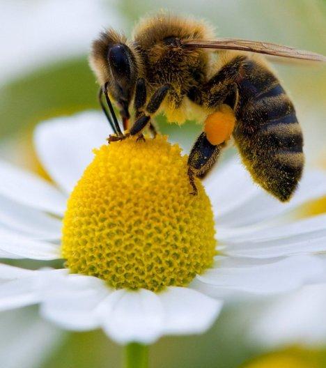 les-abeilles-ne-parviennent-plus-a-reconnaitre-les-fleurs-quand-elles-ont-ete-en-contact-avec-les-emissions-de-moteur-diesel_63028_wide